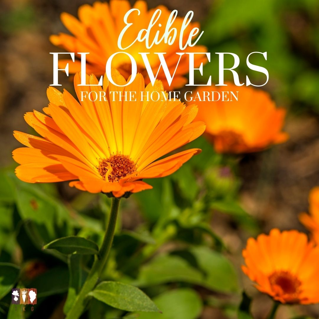 edible calendula flowers growing in the garden