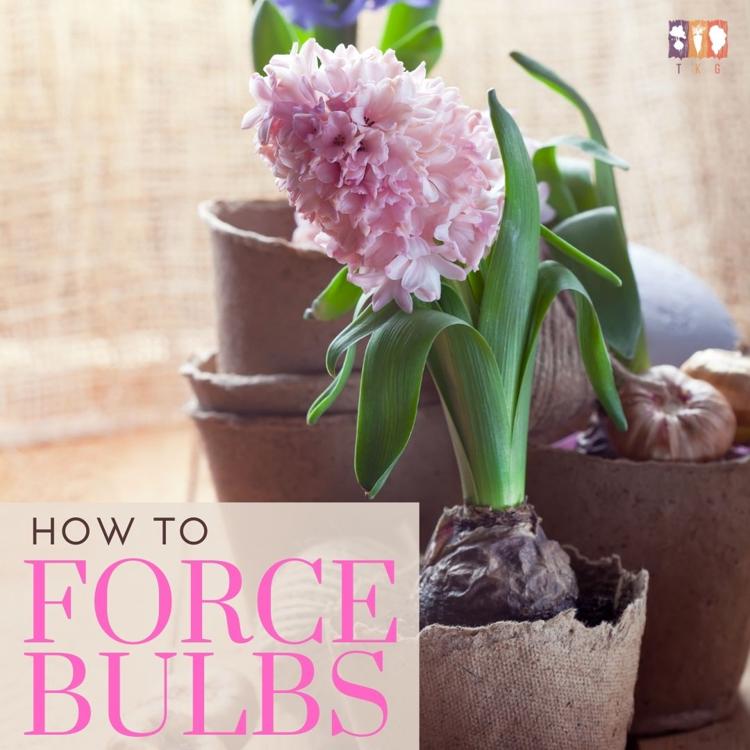 bulbs forced in a peat moss cup