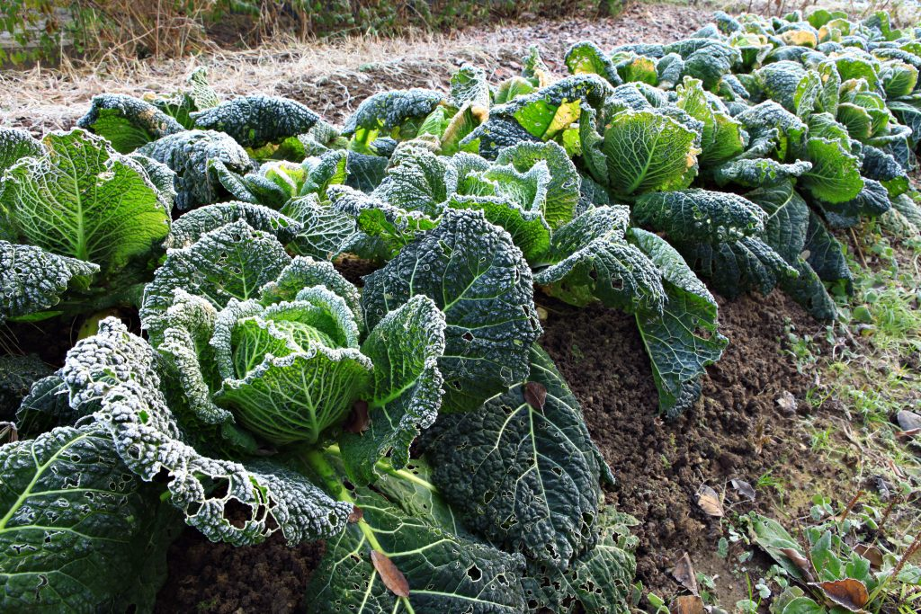 savoy cabbage with frost