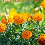 wie man Ringelblumen züchtet