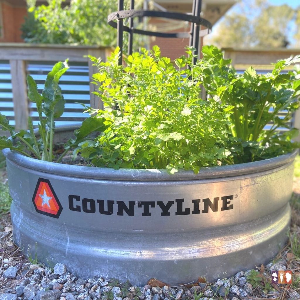cilantro growing in a round, metal raised bed