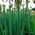 onions tops growing tall and green