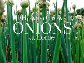 onions growing in a field