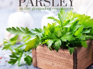 parsley growing in a wooden planter