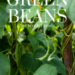 beans hanging on a vine