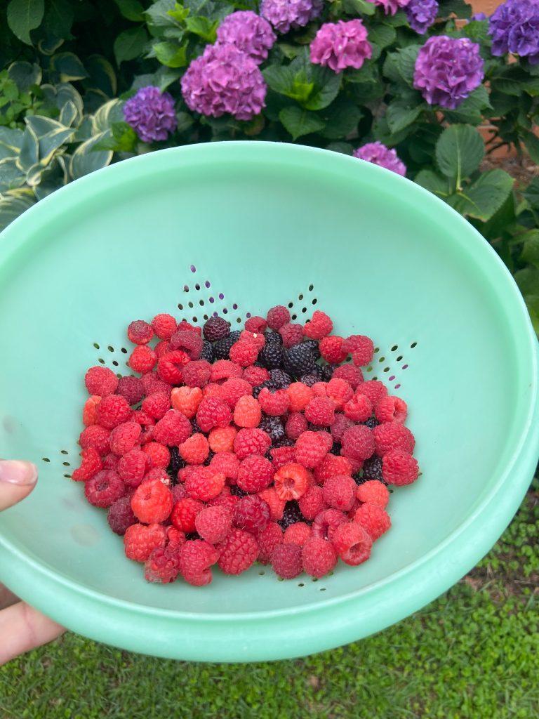 fresh raspberries from our garden in a green colander