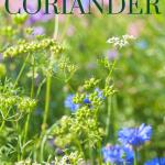 cilantro plants blooming
