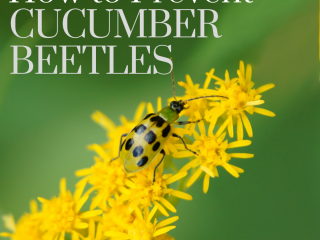 Cucumber beetle on a yellow bloom
