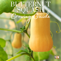 butternut squash growing on a trellis