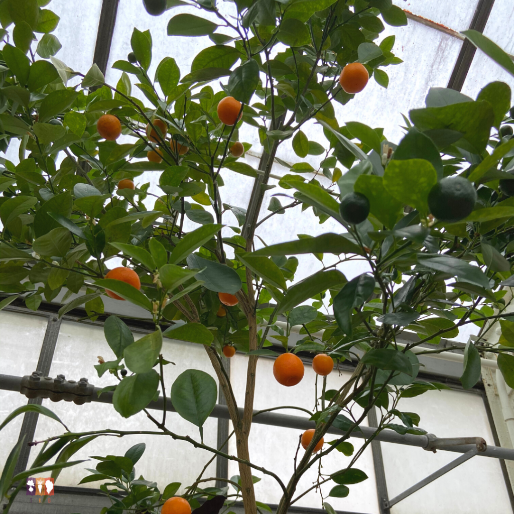 Oranges growing in the Biltmore conservatory.