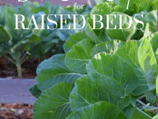 collards growing in raised beds